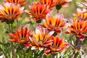 living room and kitchen color ideas gazania flowers low maintenance annuals