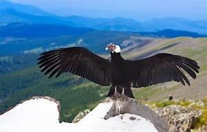 Andean Condor Facts  Range  Habitat  Adaptations  Pictures