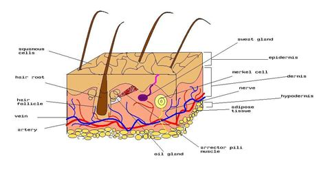 Skin Cell Diagram Label by File Diagram Of Human Skin Jpg