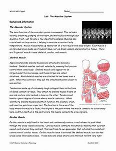 Anatomy And Physiology Of The Muscular System