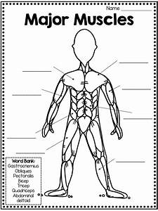 Muscular System Fact Book  Types Of Muscles  Skill Pages