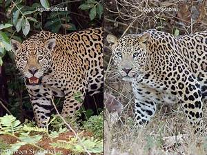 Picture suggestion for Cheetah Vs Leopard Vs Jaguar