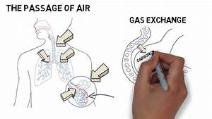 Gcse Biology - Respiratory System