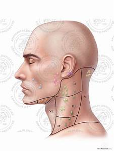 Male Left Lymph Nodes And Regions Of The Neck