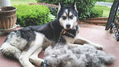 do malamutes shed husky losing hair on back om hair