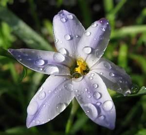 Star flower with rain drops by BocaJoe (Photo) | Weather ...