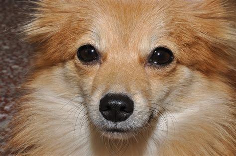 File Ee  Pomeranian Ee    Ee  Dog Ee    Jpg