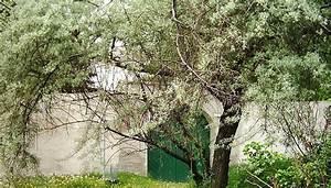 Wucherungen An Pflanzen : elaeagnus lweiden botanik ~ Buech-reservation.com Haus und Dekorationen