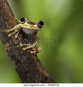 Tree Frog Ecuador Tropical Amazon Image & Photo | Bigstock