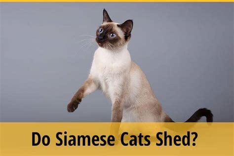 do siberian cats shed
