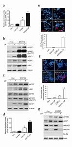Constitutively Active Stat3c Leads To Precocious Astrocyte