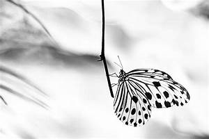 The gallery for --> Black And White Butterfly Photography