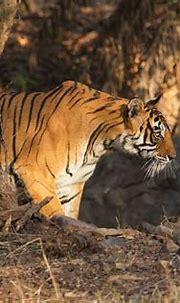 Tiger 4k Ultra HD Wallpaper   Background Image   4200x2800 ...