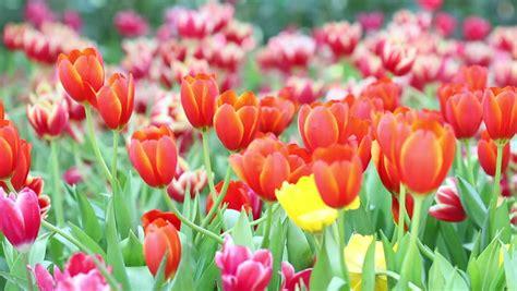 1920x1080 beautiful tulips garden colorful tulips are beautiful 1920x1080 stock footage video 9075329 shutterstock