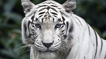 Tigre Branco Tiger Widescreen Resolutions Wide Wallpapersafari