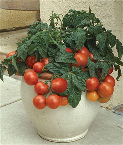 los mejores tomates para cultivar en maceta gardens