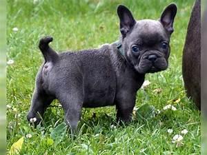 Hundebekleidung Französische Bulldogge : tieranzeigen bulldoggen kleinanzeigen ~ Frokenaadalensverden.com Haus und Dekorationen