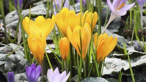Krokusse Pflanzen Für Frühling Und Herbst