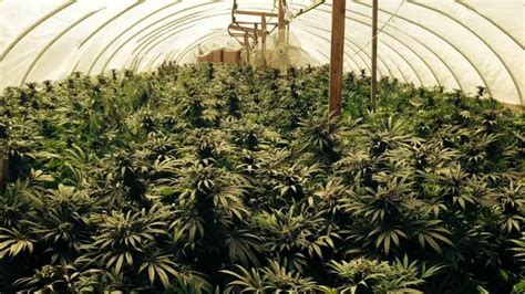 grow ls for weed a beginners guide to growing marijuana news merry jane
