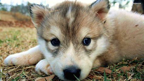 Wolf Puppies Wallpaper Desktop