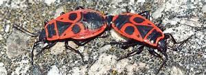 Insecte Qui Mange Le Bois : le gendarme pyrrhocoris apterus l 39 insecte le plus ~ Farleysfitness.com Idées de Décoration
