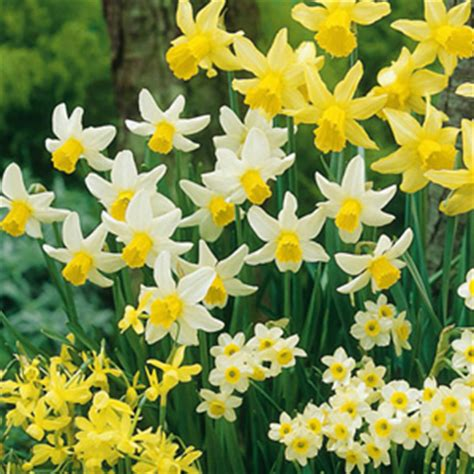 10 pack daffodil mixed bulbs 28 images bulb box