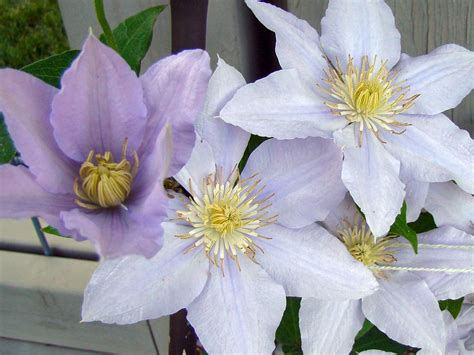 Clematis Chelsea | Brushwood Nursery, Clematis Specialists