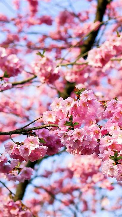 Blossom Cherry Iphone Tree Phone Blossoms Wallpapers