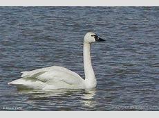 National Bird Of Russia Tundra Swan 123Countriescom