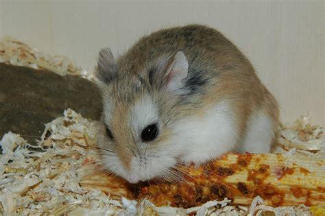 roborovski hamster a comprehensive guide to the roborovski hamster online hamster care