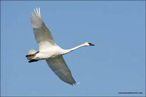 Trumpeter Swan flying