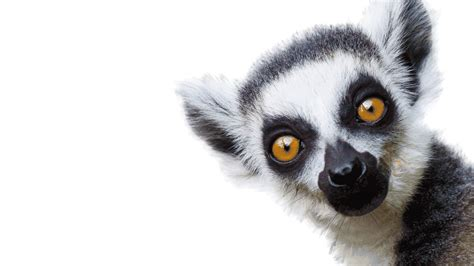 zoo animals animated lemurs london zsl giphy lemur monkeyland gifs ring wildlife
