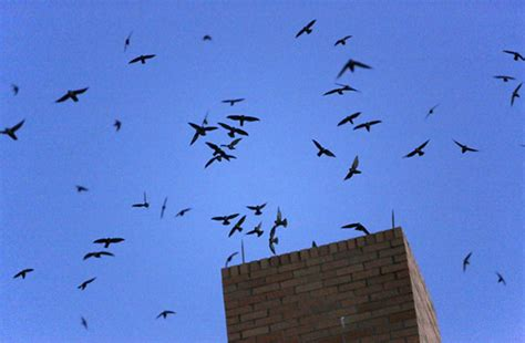 The Truth About Chimney Swifts