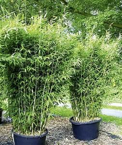 Bambus Als Sichtschutz Im Kübel : kann ich bambus im k bel halten balkon haus garten zenideen ~ Frokenaadalensverden.com Haus und Dekorationen