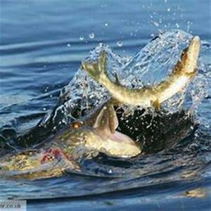 1000+ images about Pike on Pinterest   Fishing trips ...