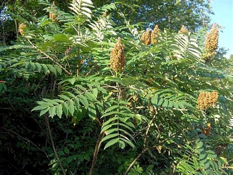 sumac trees sumac tree bark rhus glabra root buyer