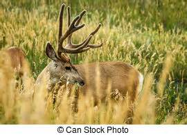 Profile of mule deer buck with velvet antler. Head profile ...