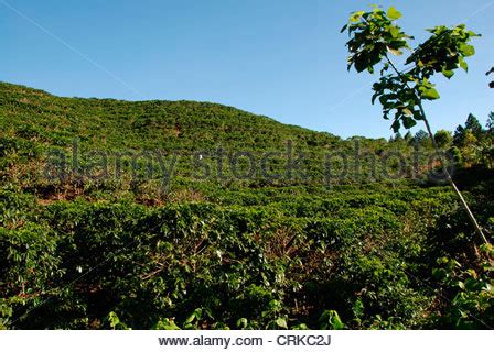 From kyoto, japan, % arabica coffee shop's new outlets are opening soon in singapore and jakarta. Arabica coffee plantations near Poas volcano. Central Valley. Costa Stock Photo: 33083451 - Alamy