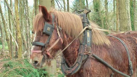 draft horses logging belgian