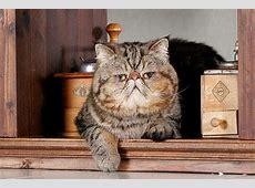 Große Katzenrassen – Übersicht und viele Bilder
