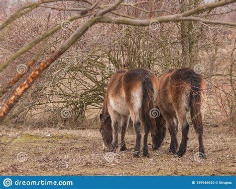 exmoor meadow ponies two milovice czech republic endangered brown