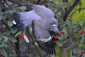 Faire Fuir Les Pigeons : pigeon ramier palombe ~ Melissatoandfro.com Idées de Décoration