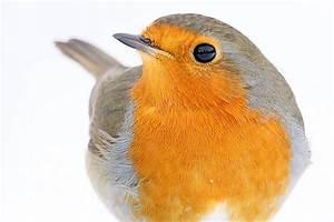 Vogel Mit Roter Brust : unsere 40 h ufigsten gartenv gel kurz vorgestellt nabu ~ Eleganceandgraceweddings.com Haus und Dekorationen