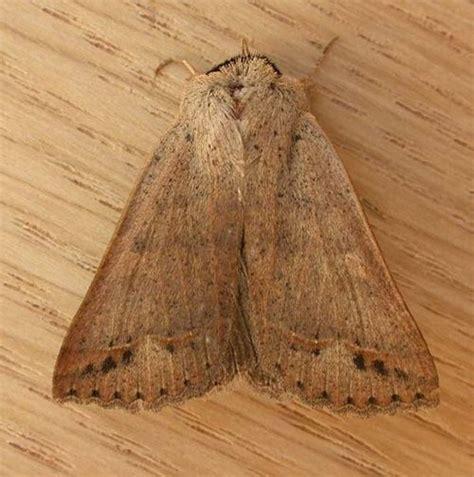 noctuid moth pantydia sparsa