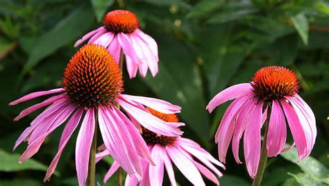 cone flowers surfeit of purple ellis hollow