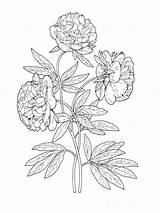 Coloring Flower Peony Flowers Line Drawing Printable Sketch Colors Template sketch template