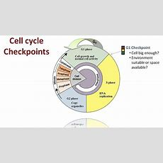 Regulation Of The Cell Cycle Youtube