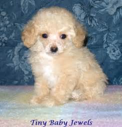 Teacup Poodle Puppies