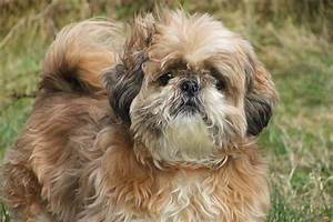 The Shih Tzu dog breed - Small Fluffy Dog Breeds