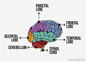 What Are The Functions Of The Occipital Lobe   With Pictures